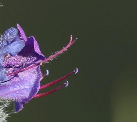 La vipérine, fleur des bords de chemins de randonnées