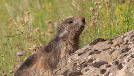 Les marmottes une vie sous terre