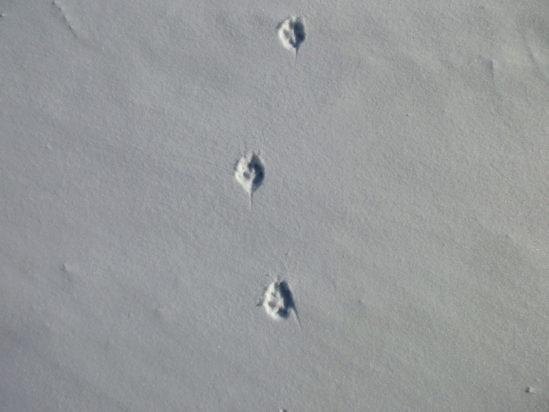 Traces d'animaux et indices de vie en hiver
