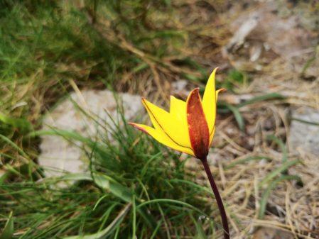 La tulipe sauvage dans la montagne d'Ardèche