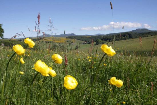 La flore exceptionnelle des prairies du mont Gerbier de Jonc