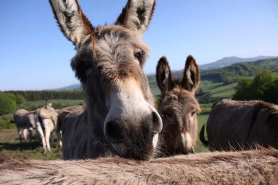 Randonnée avec un âne dans les monts d'Ardèche - En formule confort